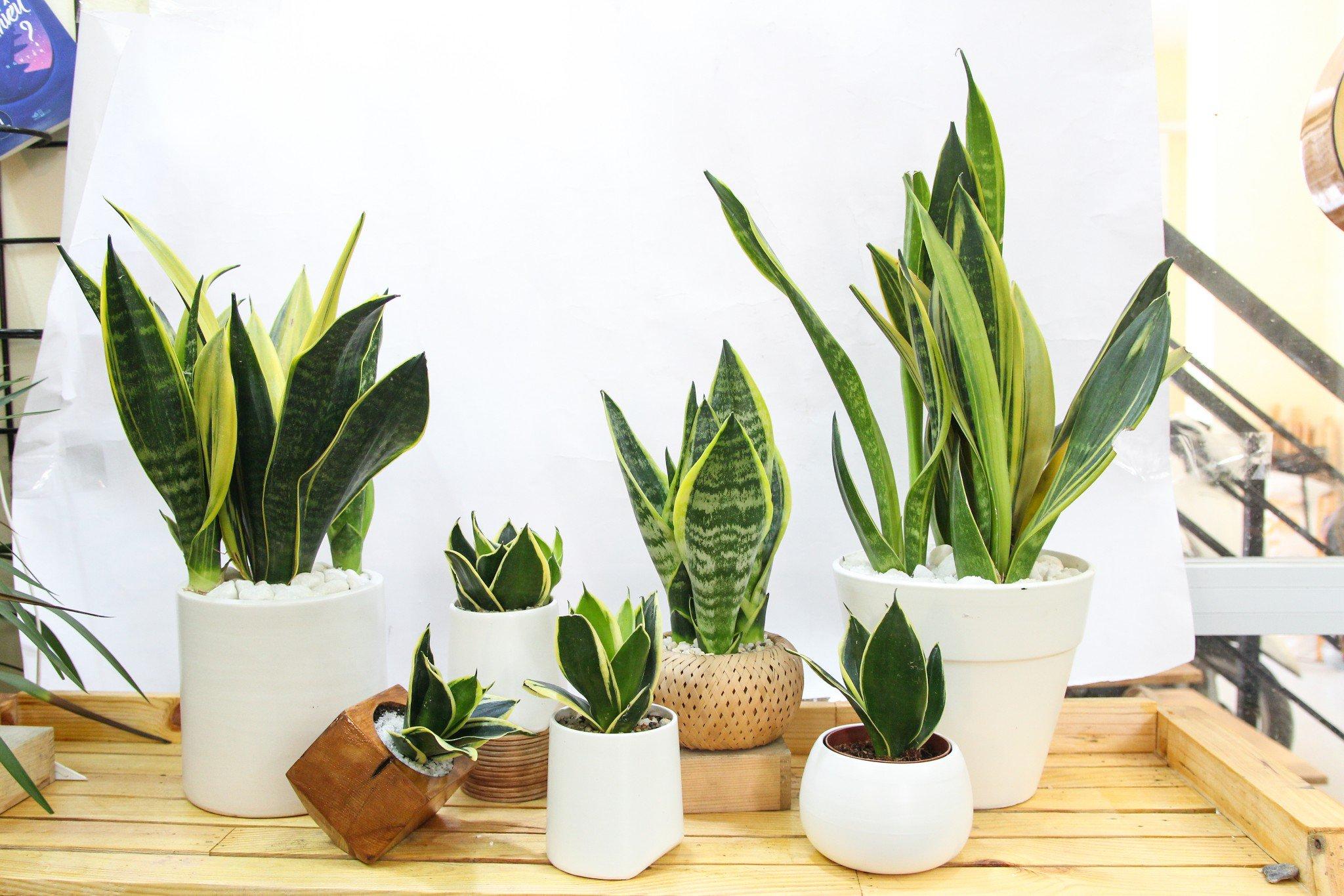 Không chỉ dễ trồng trong nhà những loài cây này còn giúp thanh lọc không khí